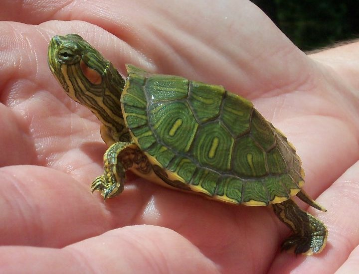 longevity-water-tortoise